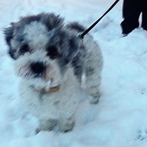 heididahlsveen:  Romeo i snøen #dog #hund #mixedbreed