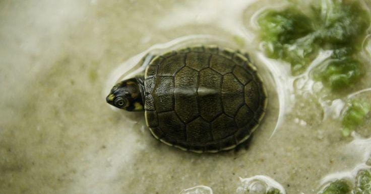 Cómo decorar un acuario de tortuga. Las tortugas son mascotas divertidas e interesantes que en realidad no necesitan de mucha interacción personal. Sin embargo, hay necesidades básicas que deben cumplirse para que tengas una tortuga feliz y saludable. Asegúrate de que el acuario sea lo suficientemente grande para tu mascota. Una pequeña bebé sólo necesita un tanque de ...