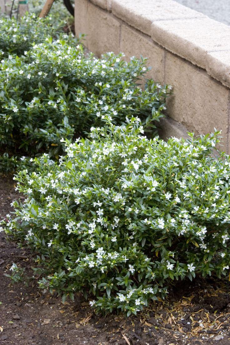 Cuphea Hyssopifolia Monga Itsy Bitsy 174 White False