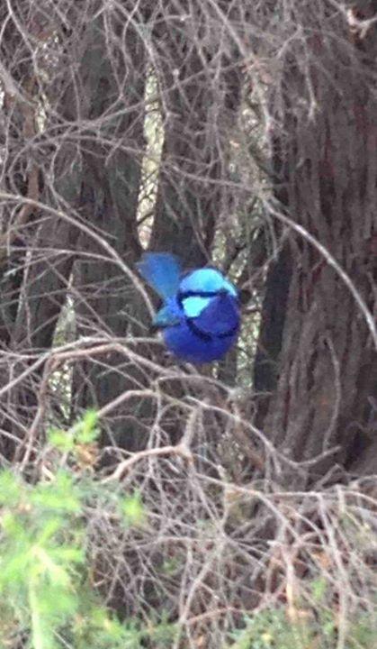 A splendidly blue Splendid Fairywren (Malurus (Malurus) splendens). Photo by: Barbara Sing