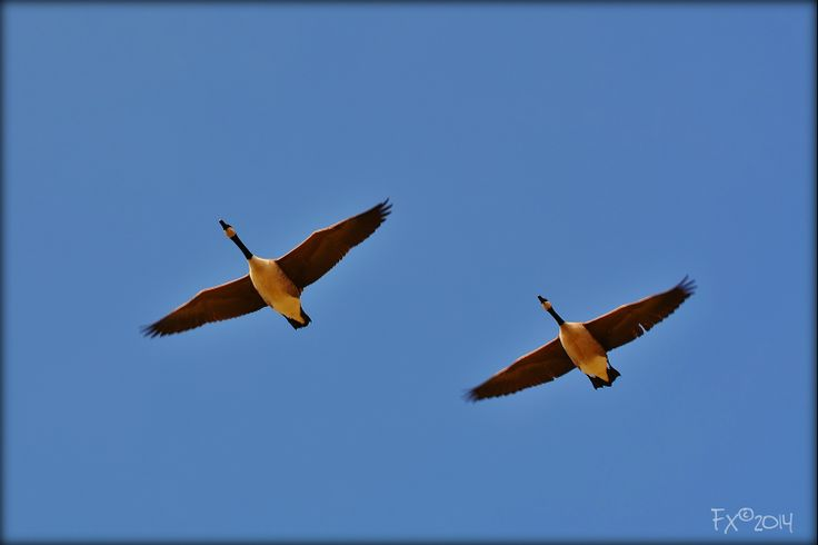 Goose flying by in a blue sky