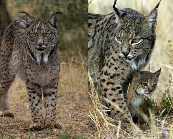 Дикие животные должны жить в природе! рысь, Редкий вид, красная книга, охрана природы, Животные, дикая кошка, длиннопост