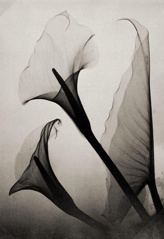 Dizzying! X Ray of calla lilie #Fotografie #Schwarzweiß #Inspiration