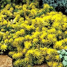 """Sedum Groundcover - 'Angelina' is one of the best groundcover sedums yet for quick coverage and brilliant yellow tones. Angelina grows 3-4"""" tall and spreads 2 feet wide in a single season, and in Zone 8 the foliage will turn to a rich orange. You can't beat this bold golden sun-lover for scrambling across hot, dry, poor soils that other plants shun! Zone 6-9"""