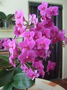 Čo robiť, aby orchidea kvitla aj vám?