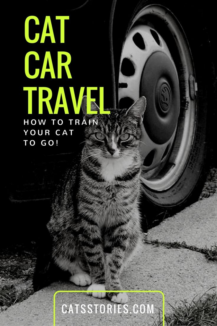 With proper cat car travel training it won't be long before your kitty will leap at the chance for another adventure when you get ready to go out the door for a car ride!  |  CatStories.com
