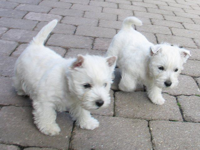 when i grow up, i am going to be a westie rescuer. so, i just wanted u guys to get used to these.