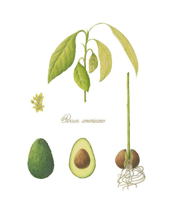 Botanical Art Giclee Print Of Avocado Plant Botanical Art Avocado Art Avocado Plant