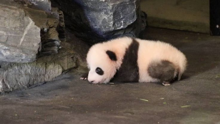 Panda cubs first steps, born June 2nd 2016 in Pairi Daiza (Belgium)