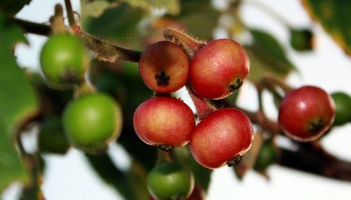 Aratiles fruit taste like cotton candy. | Fruit Trees