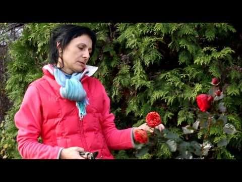 Как обрезать розы на зиму. Обрезка роз осенью по правилам.