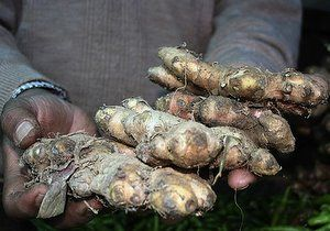 Growing Ginger How To Grow Ginger In the Garden Or Indoors