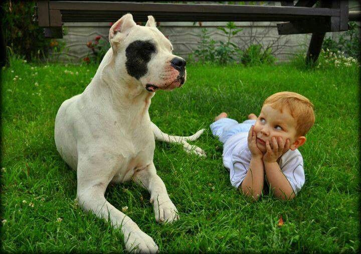 Dogo Argentino Vs Pitbull Fight | www.imgkid.com - The ...