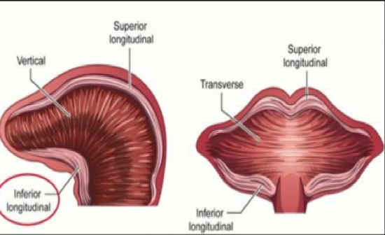 Intrinsic tongue muscles