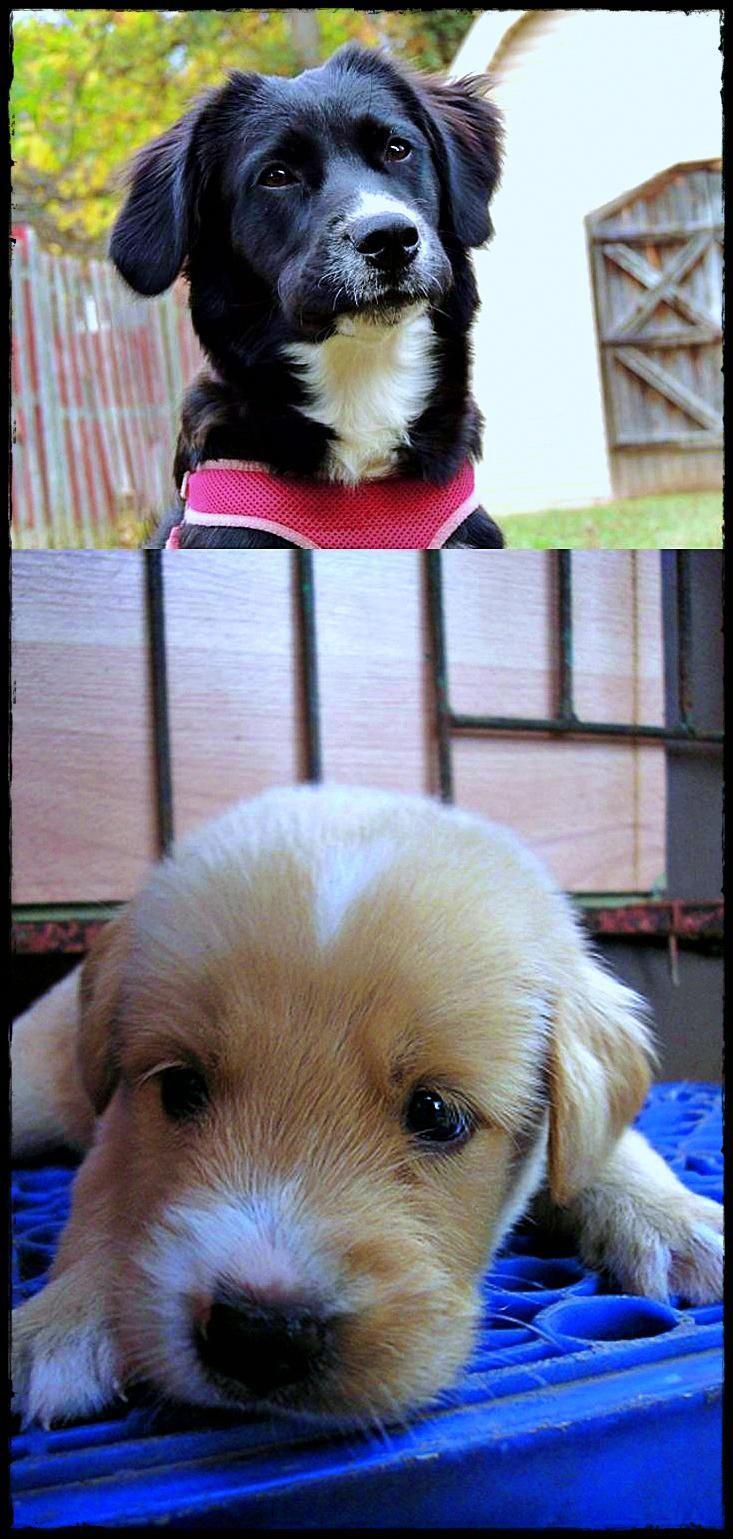 Labrador For Rehoming Best Labradorornament Labradorbreedersnorthwest Labradorgundogpuppies Labrador Retriever Labrador Breeders Dog Breeds