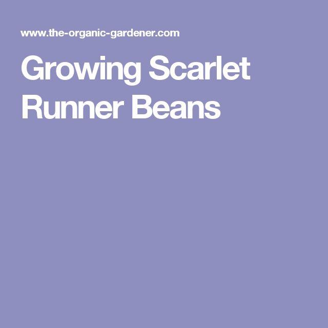 Growing Scarlet Runner Beans