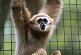 One of the gibbon's at Sunset Zoo, Dempsey!