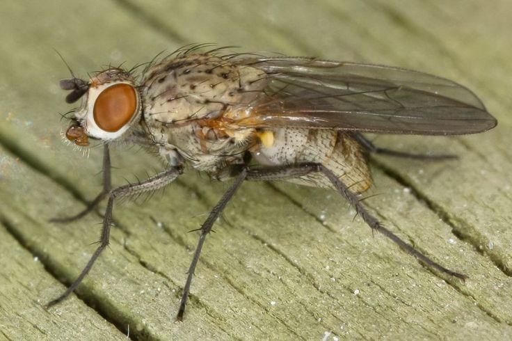 Луковая муха (Delia antiqua)