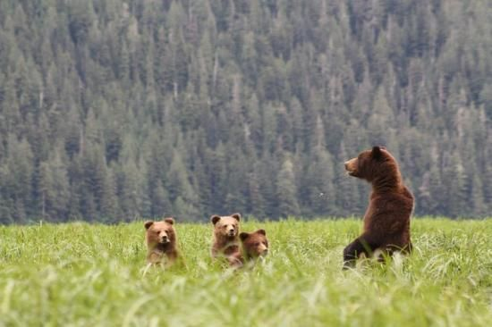 Khutzeymateen Grizzly Bear Sanctuary- a must do while in Prince Rupert #BC #Travel