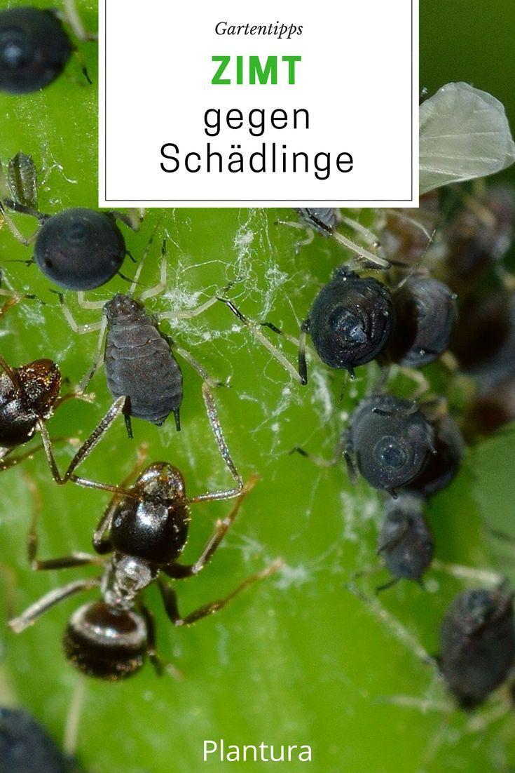 Zimt Im Garten Ein Sinnvoller Pflanzenschutz Plantura Ameisen Im Garten Schadlinge Im Garten Trauermucken
