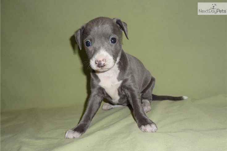 Meet Marley a cute Italian Greyhound puppy for sale for $600 ...