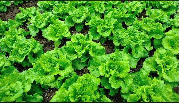 These Genius Gardening Tricks Actually Work Growing Lettuce