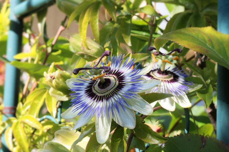 from my backyard, Kärsimyskukka eli rohtopassio (Passiflora incarnata)