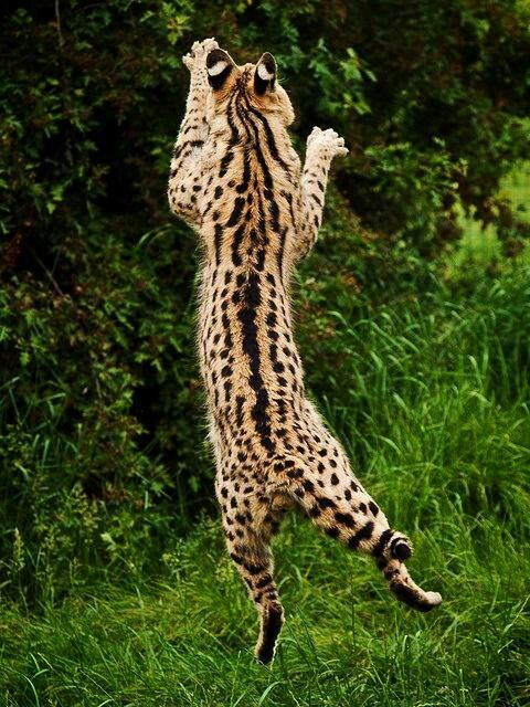 African Serval Cat Jumping