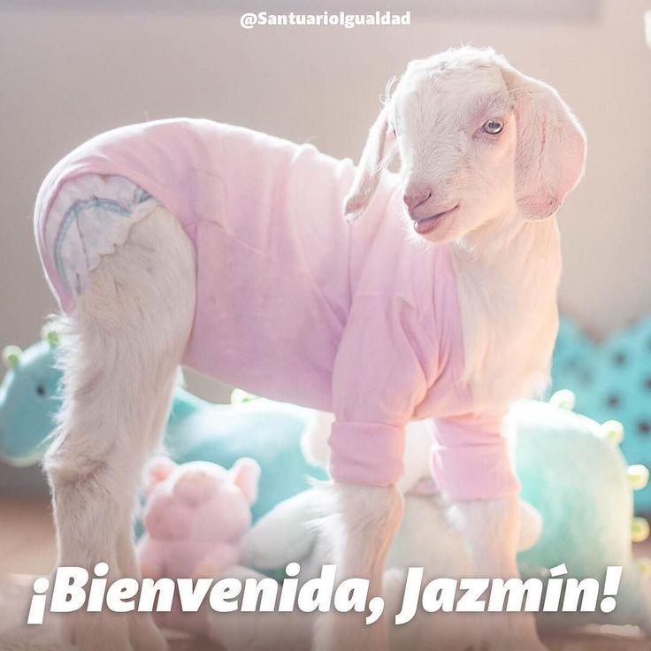 Bienvenida Jazmín  Jazmín es una cabrita bebé cuya pequeña cabecita inocente y llena de curiosidad sufrió la pérdida forzosa de lo que más quería en el mundo: su madre. La historia de Jazmín tristemente es la historia de todos los animales en la industria de la carne leche y huevos cuyas familias son destruidas para someterlos a vidas miserables que solo terminan con sus vidas destrozadas en un matadero. Jazmín tuvo la suerte de que el explotador se la obsequió a un hombre para que se la…
