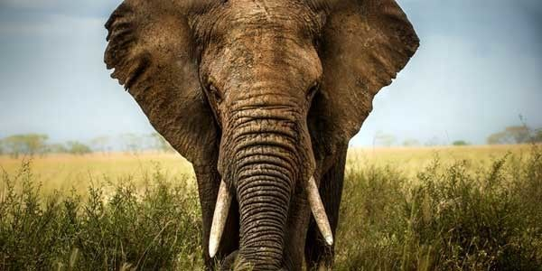 Trump is now allowing trophies back into the U.S. More endangered African elephants and lions will be killed unless congress acts. (22247 signatures on petition)