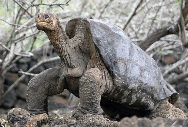 «Solitario George», el último de su especie, murió en 2012. Esta especie de tortuga gigante, desaparecida en 2012, podría volver a vivir gracias a la selección genética