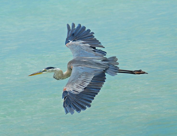 12 best images about great blue heron on pinterest the internet to be and herons. Black Bedroom Furniture Sets. Home Design Ideas