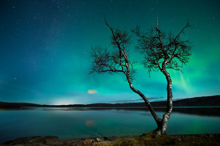 A tree is silhouetted in front of auroras at Mo i Rana
