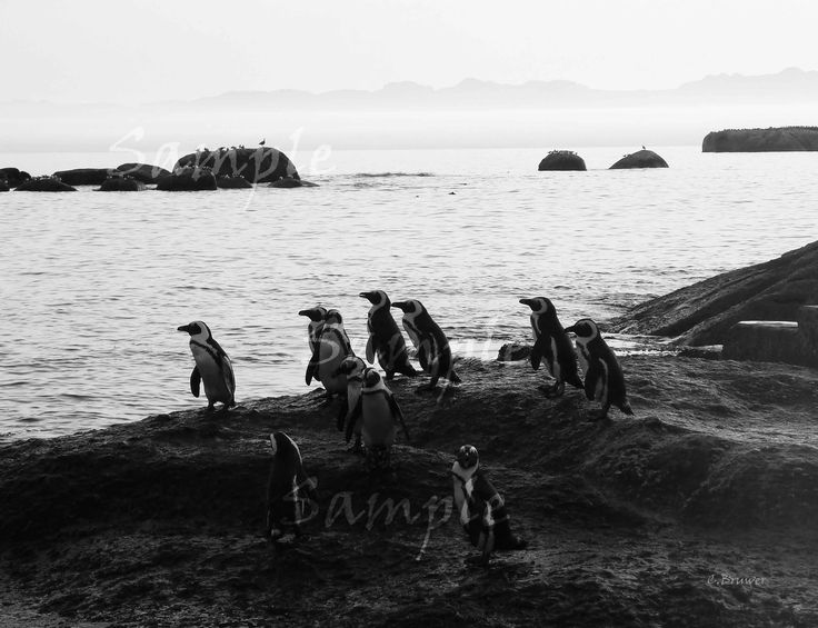 Click on image to view non sample image. Black and white image of penguins at Boulders Beach Cape Town South Africa. Unique to still see penguins in their natural habitat like this. Makes for a nice dynamic piece.