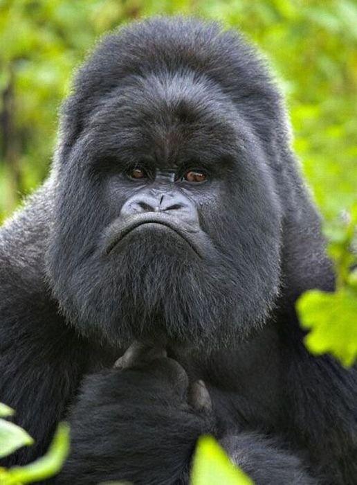 .Gorila trascendente