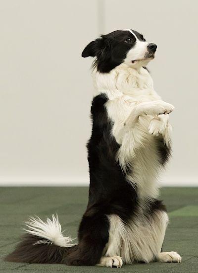 Kromě obzvláště velkých plemen se k tanci hodí většina psů. Nejčastěji je ale při této disciplíně vidět border kolie.
