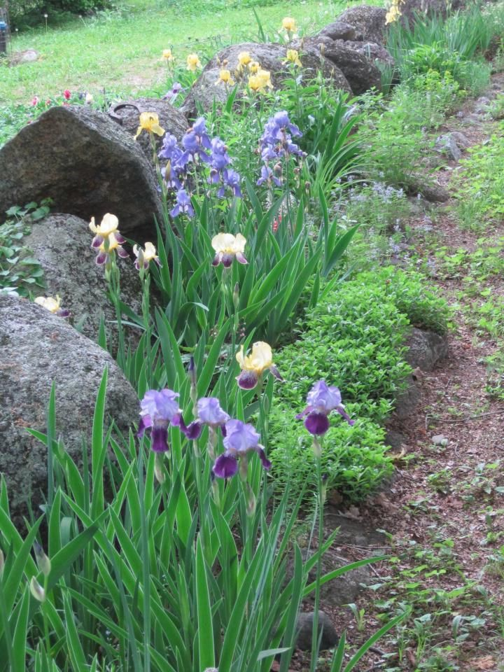 How To Divide Bearded Irises With Pictures Growing Irises Plants Iris Garden