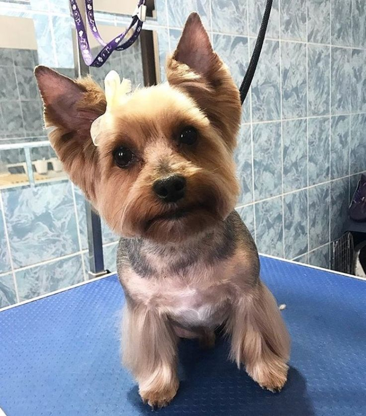151 extremely cute yorkie haircuts for your puppy in 2020
