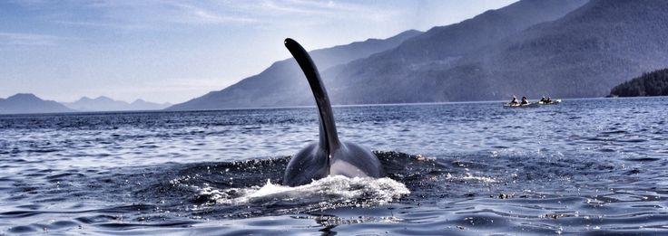 This Orca first swam under our kayaks then surfaced in front of us, blowing fishy Orca breath!