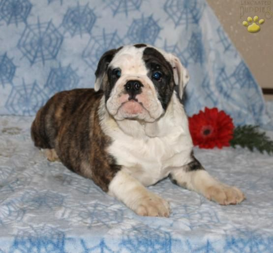 Martha English Bulldog Hybrid Puppy For Sale In Bird In Hand Pa