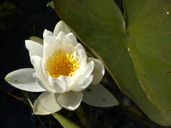 White Water Lily on an island Lochan. Art, Craft & Landscape photography inspired by the Outer Hebrides; self-catering holiday accommodation in luxury camping pods.
