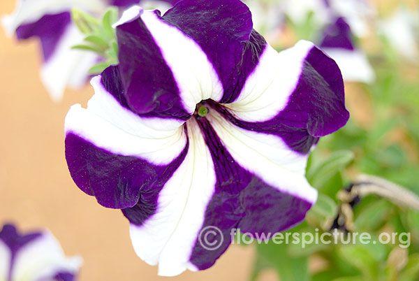 Bicolor Petunia Petunias Orchid Varieties Flower Show