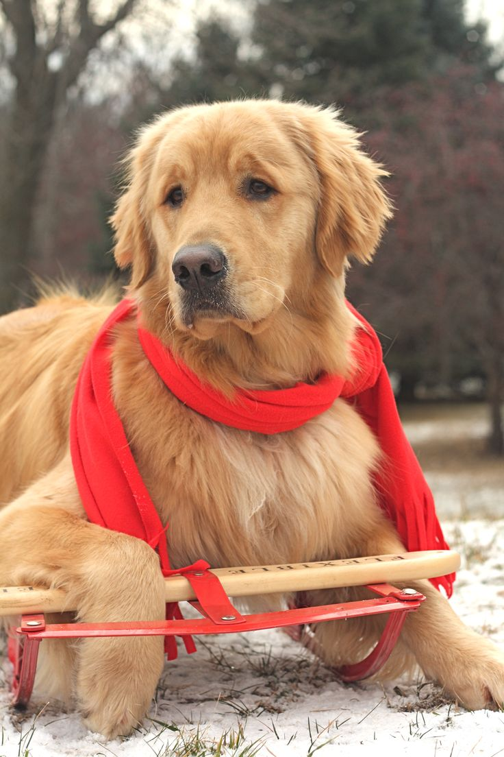 """Click visit site and check out Cool """"Golden Retriever"""" t-shirts. This website is superb. TIP: you can search your name or your favorite shirts at search bar on the top."""