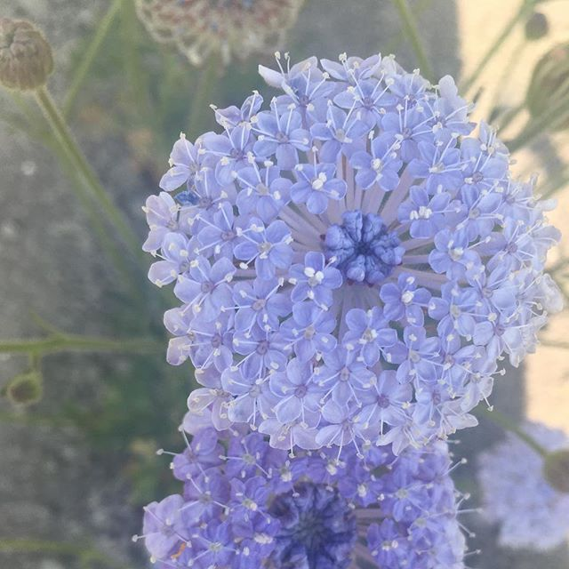 Didiscus Caerulea Lace Flower Lacy Blue Beautiful Flowers Lace Flowers Pretty Flowers