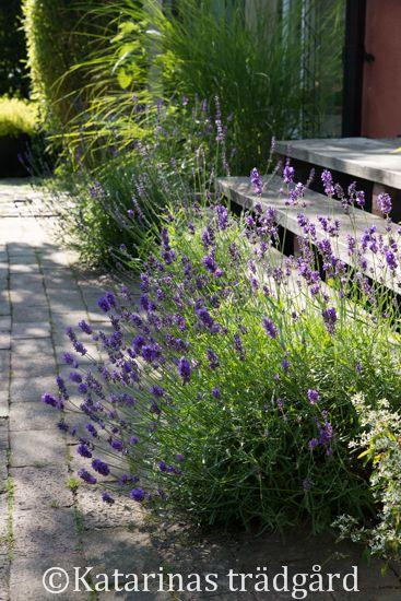 Katarinas trädgård: Månadens favoritväxt - juli      #LavenderLover