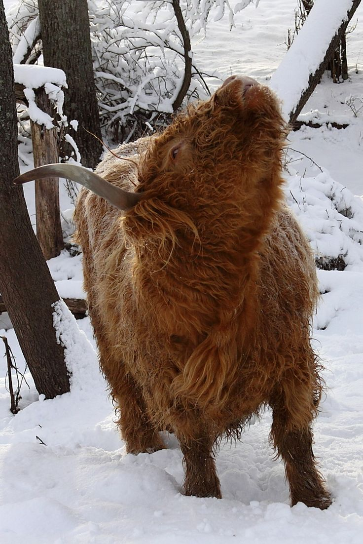 438 best highlander images on pinterest highland cattle