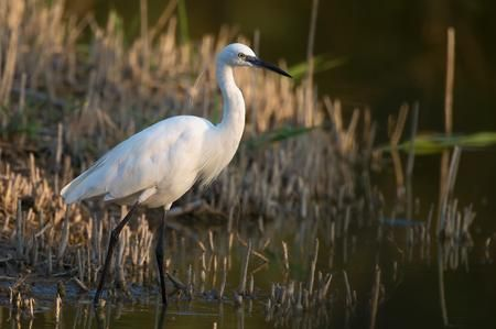 Little egret Photo by Giovanni Giuliani — National Geographic Your Shot