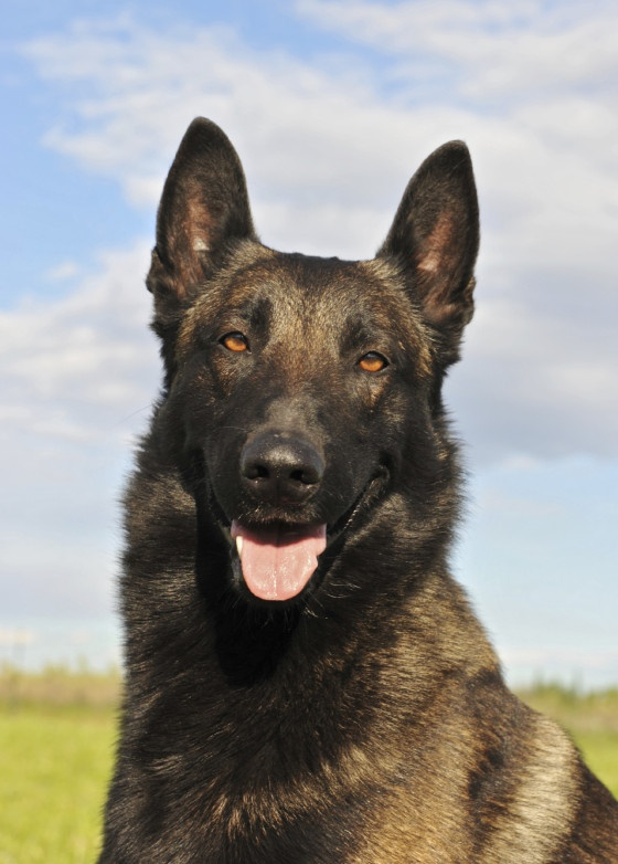 Belgian Malinois and why they're so fantastic! #dogs #animal #belgian #malinois