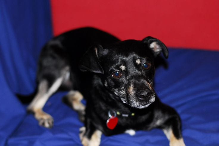 Boomer is an adoptable Terrier searching for a forever family near West Valley, UT. Use Petfinder to find adoptable pets in your area.