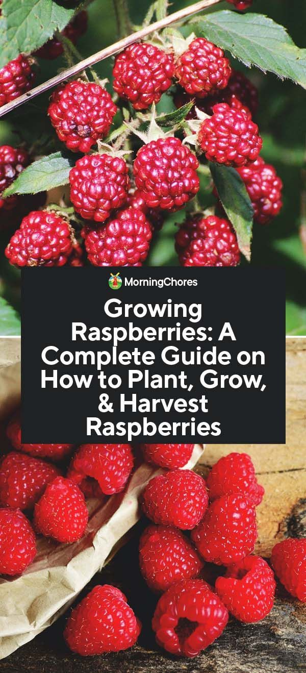 Growing Raspberries A Complete Guide On How To Plant Grow Harvest Raspberries Growing Raspberries Raspberry Plants Growing Fruit